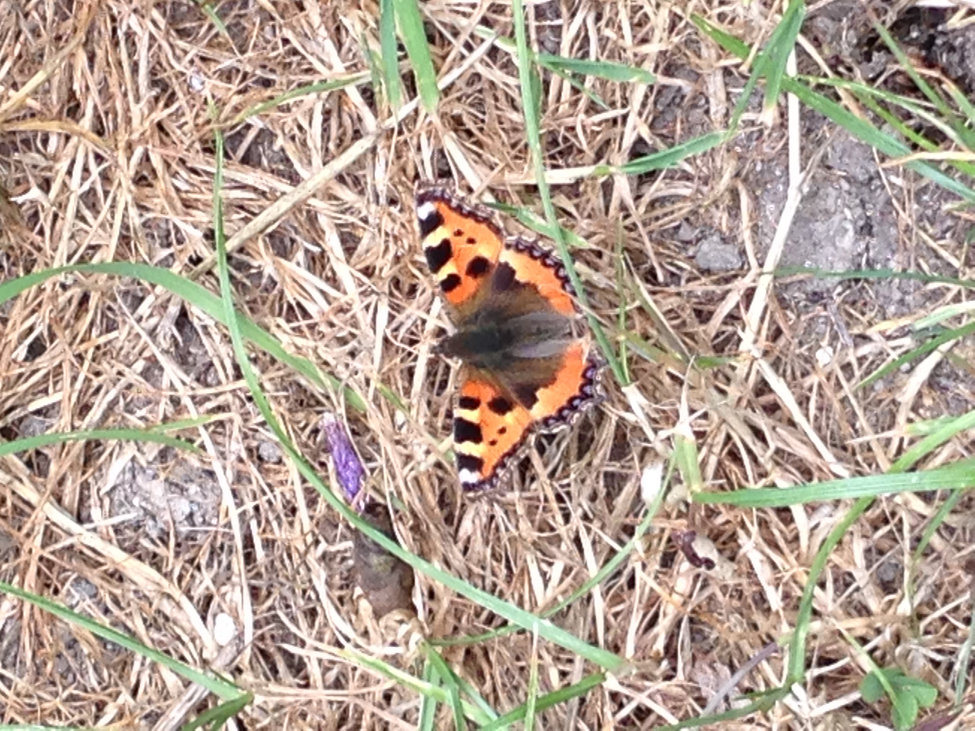 Newly emerged  - a small tortoiseshell butterfly above Chapman's Pool